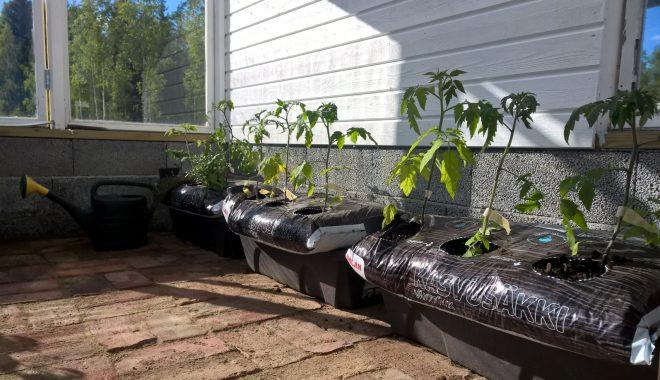 Tomaatit kasvavat Biolan Kasvusäkissä. Kastelualtaasta riittää vettä näin pienille taimille useammaksi viikoksi.