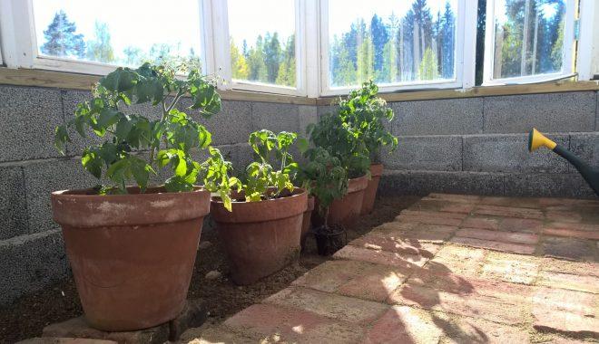 Pensastomaatteja istutin ruukkuihin Biolan Istutusmultaan. Ruukut voi siirtää ilmojen lämmettyä vaikka terassille.