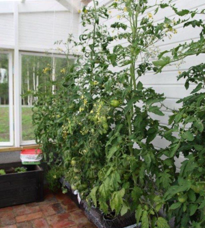 Kasvihuoneessa kypsyy tomaattisato. Tomaatit kasvavat vaivattomasti Biolan Kasvusäkeissä ja Kastelualtaissa.